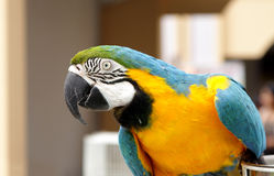 A beautiful macaw seeing the lens Royalty Free Stock Images