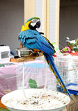 A beautiful macaw staring at the back side Royalty Free Stock Photo