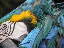 The Beautiful Macaw of the Thailand Jungle. Macaw close up displaying his Beautiful colors Royalty Free Stock Photos