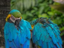 The Beautiful Macaw of the Thailand Jungle. A guy and his gal taking a rest Royalty Free Stock Photos