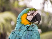 The Beautiful Macaw of the Thailand Jungle. Macaw keeping his eye on all around Royalty Free Stock Images