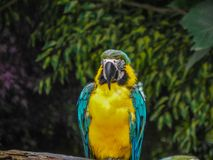 The Beautiful Macaw of the Thailand Jungle. Macaw keeping his eye on all around Stock Photos