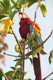 Beautiful macaw Royalty Free Stock Images