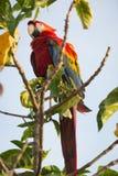 Beautiful macaw Royalty Free Stock Photos