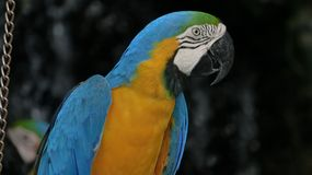The beautiful macaw in the zoo. The Macro are playing with each other in intimacy Stock Photos