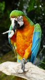 The beautiful macaw in the zoo. The Macro are playing with each other in intimacy Stock Image