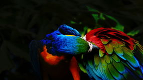 The beautiful macaw in the zoo. The Macro are playing with each other in intimacy Stock Photo