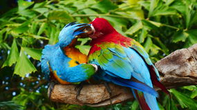 The beautiful macaw in the zoo. The Macro are playing with each other in intimacy Royalty Free Stock Photo