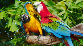 The beautiful macaw in the zoo. The Macro are playing with each other in intimacy Stock Photography