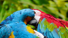 The beautiful macaw in the zoo. The Macro are playing with each other in intimacy Royalty Free Stock Photography