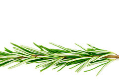 Beautiful macro background texture of green rosemary with copysp Royalty Free Stock Image