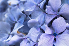 Beautiful macro close up of bunch of blue violet petals of hortensia flower on blurred background texture pattern Royalty Free Stock Photo