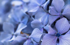 Beautiful macro close up of bunch of blue violet petals of hortensia flower on blurred background texture pattern Stock Image