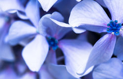 Beautiful macro close up of bunch of blue violet petals of hortensia flower on green blurred background texture pattern Stock Photos