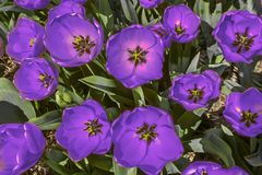 Bright violet tulip close up stock photography