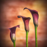 Beautiful macro close up image of colorful vibrant calla lily fl Stock Image