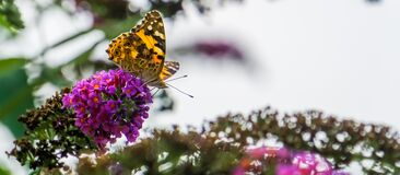Free Beautiful Macro Closeup Of A Painted Lady Butterfly, Common Cosmopolitan Insect Specie Royalty Free Stock Photo - 177325375