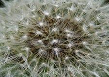 Beautiful macro  of dandelion . Royalty Free Stock Photography