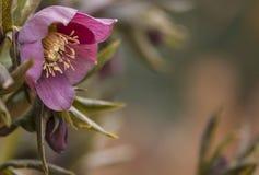 Lenzrosen - hellebore - Christmas rose Helleborus royalty free stock photos