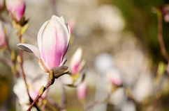 Beautiful macro magnolia flower Stock Photos