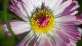 Macro pink flower. Beautiful macro natural pink flower Royalty Free Stock Photography