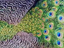 Beautiful Macro of peacock feathers stock photography