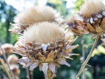 Beautiful macro photo of dried flowers of the Cynara cardunculus Royalty Free Stock Photography