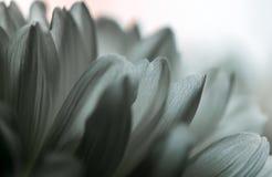 Macrophotography of flowering chrysanthemums. Beautiful macro pictures of chrysanthemum flowers Stock Image