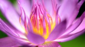 Beautiful macro of purple lotus royalty free stock image
