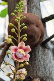 A beautiful macro shot of a flower from the unusual cannonball tree Couroupita guianensis. Couroupita guianensis, known by a variety of common names including Stock Photography