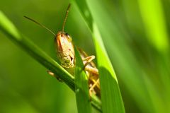 Beautiful macro shot of a grasshopper in the grass. Nature close up. Beautiful macro shot of a grasshopper in the grass. Nature close up Royalty Free Stock Photo