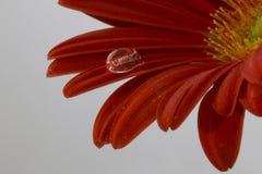 Beautiful macro shot of water droplets. On red Gerbera Stock Photo