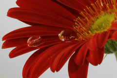 Beautiful macro shot of water droplets. On red Gerbera Royalty Free Stock Photography