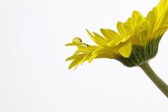 Beautiful macro shot of water droplets. On yellow Gerbera Stock Photos