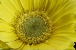 Beautiful macro shot of a yellow lily. Beautiful macro shot of  yellow Gerbera daisy Royalty Free Stock Photo