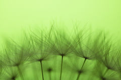 Beautiful macro silhouette soft pistils of dandelion texture pattern with copy space Stock Image