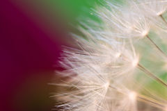 Beautiful macro soft pistils of dandelion highlighted texture pattern with copy space Stock Photo