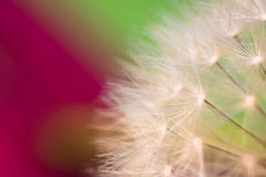 Beautiful macro soft pistils of dandelion highlighted texture pattern with copy space Stock Photos
