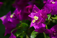 Beautiful magenta bougainvillea flowers closeup. Vivid colors and blue, green soft blurry background. royalty free stock images