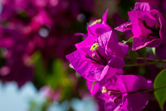 Beautiful magenta bougainvillea flowers closeup. Vivid colors and blue, green soft blurry background. Stock Photo