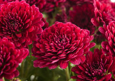 Beautiful magenta chrysanthemum flower Stock Photos