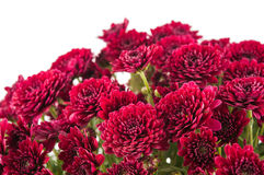 Beautiful magenta chrysanthemum flower Royalty Free Stock Photo
