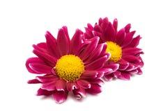 Beautiful magenta chrysanthemum Royalty Free Stock Photography