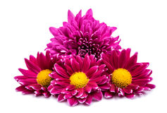 Beautiful magenta chrysanthemum Stock Image