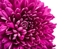 Beautiful magenta chrysanthemum Stock Photo