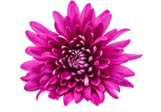 Beautiful magenta chrysanthemum Royalty Free Stock Images