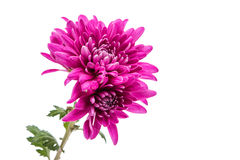 Beautiful magenta chrysanthemum Stock Photos