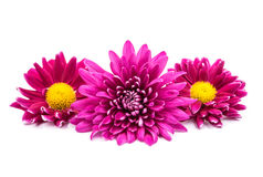 Beautiful magenta chrysanthemum Stock Images