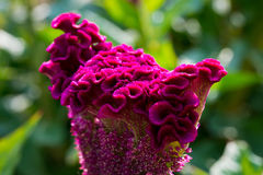 Beautiful magenta Cockscomb Celosia cristata flowers closeup. Vivid colors and blue, green soft blurry background. Royalty Free Stock Photos