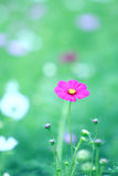 Beautiful magenta cosmos flower in blur green field background Royalty Free Stock Photos